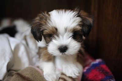 shih tzu maltese mix / puppies galore - Juxtapost