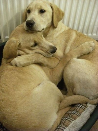 Puppies Cuddling Two labs cuddling (: