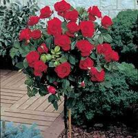 Beautiful red rose tree.
