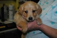 June is an adoptable Yellow Labrador Retriever Dog in Clinton, IN. June and her seven siblings came into the shelter after their owner could no longer care for them. They are Lab/Beagle mix puppies an...