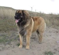 Leonberger. I would name him Bear and he would love to snuggle.