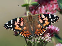 �€˜The painted lady butterfly, Vanessa cardui, gets its name from the colorful wing pattern. It could also be said that this butterfly gets around, like the reputation of the painted ladies of old. They are found on every continent except for S...