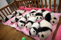 12 giant panda cubs nap in their nursery