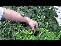 Care and Maintenance of Basil