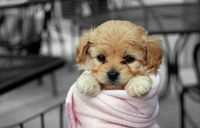 Pup in a blanket