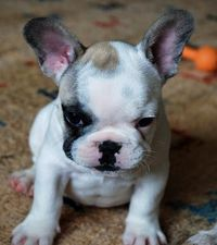 Hugo the French Bulldog Pictures 917928