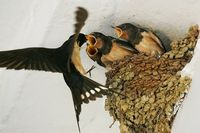 Hungry Swallows.