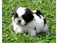 Pocket Size Imperial Shih Tzu Puppy